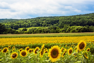 Sunflower Field NJ
