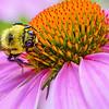 Bumblebee on Purple Coneflower