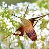 Clear-winged Hummingbird Moth