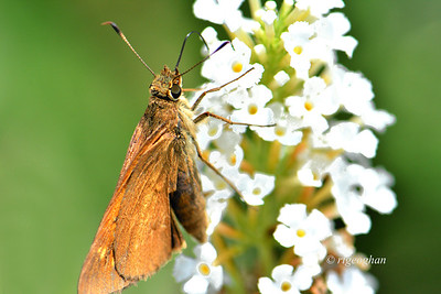 Broad-winged Skipper Butterfly