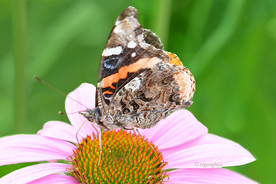 Nectaring Red Admiral Butterfly