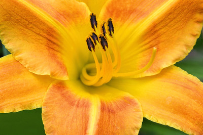 Yellow-Orange Daylily Portrait
