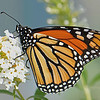 Monarch Butterfly October