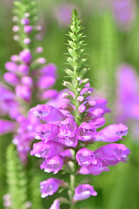 Pink Obediant Plant