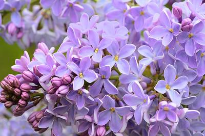 Lavender Lilacs