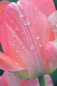 Pink Tulip Raindrops
