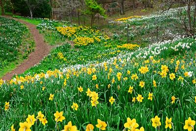 Daffodil Garden  N.J.