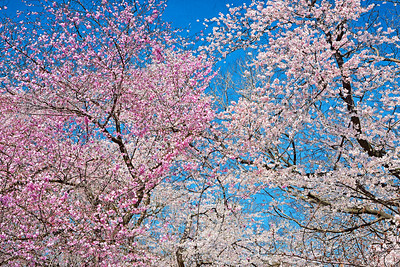 Yoschino Cherry Blossoms Blue Sky