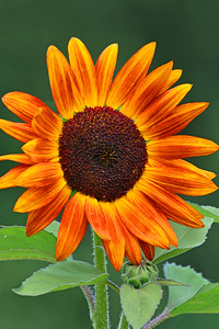 Sunflower-Orange Bicolor