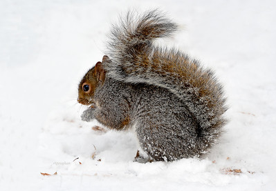 Central Park Squirrel in Snow