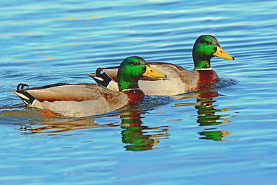 Mallard Rakes and reflections