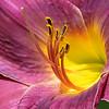 Purple Daylily Portrait