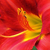 Day LIly in Red