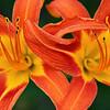 Daylilies-Happy Twosome