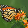 Monarch Butterfly on Butterfly Weed.