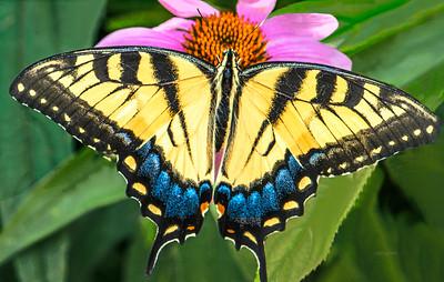 Butterfly-Eastern Tiger Swallowtail
