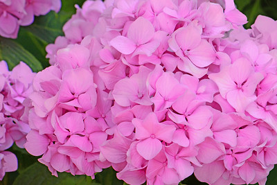 Pink Hydrangea Blossoms