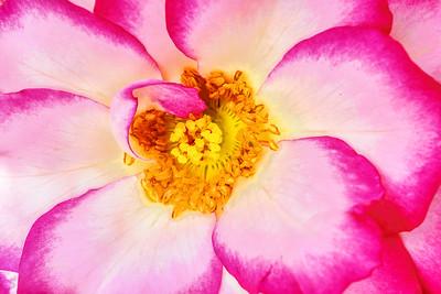 Rose Petal Swirl
