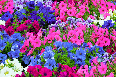 Petunias- Rainbow of Colors