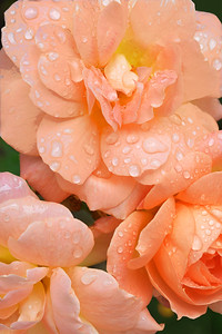 Raindrops on Peach Roses