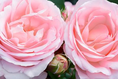Roses-Claire Renaissance.