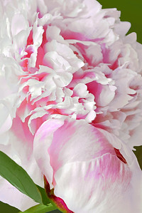 Pastel Pink Peony and bud