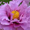 Lavender Pink Peony