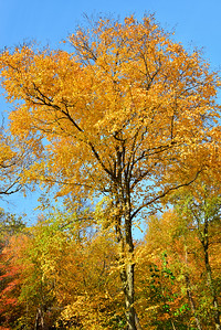 Autumn Trees in Gold