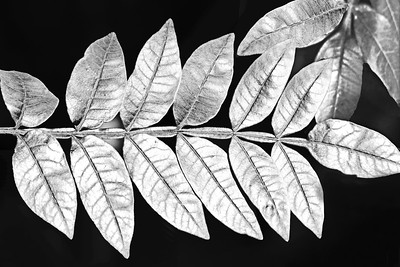 Leaf and Branch Study in Black and White