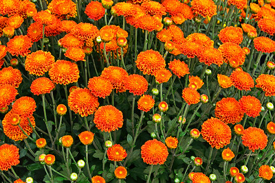 Orange Mums and Buds