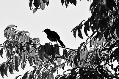 Northern Mockingbird and Tree Silhouette