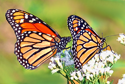 Monarch Duo