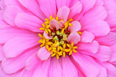 Pastel Pink Zinnia