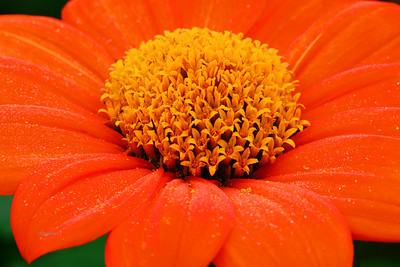 Mexican Orange Sunflower