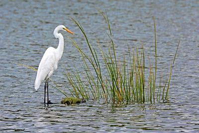 Great Egret-RisingTide