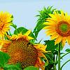 Season's End Sunflowers