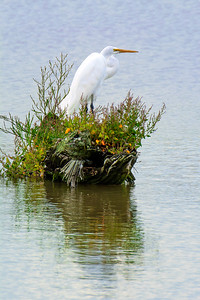 Great Egret Rainy Day