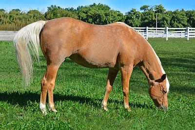 Grazing Palomino Horse
