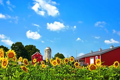 Picturesque N.J. Sunflower Farm Scene
