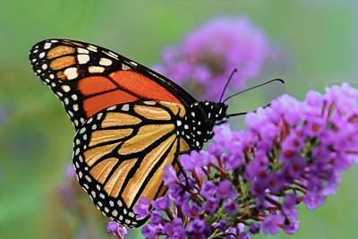 Monarch Butterfly on Purple Blossom