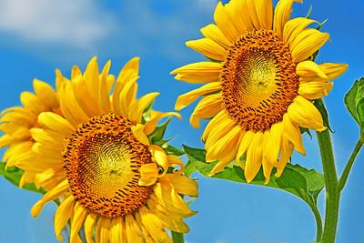 Sunflower Joie de Vivre