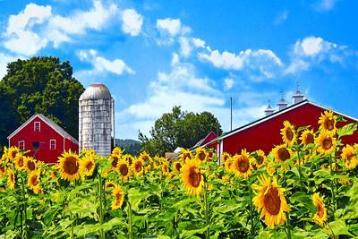 Sunflower Days on the Farm