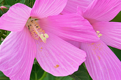 Pink Swamp Mallow FLowers