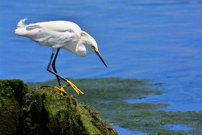 Snowy Egret NJ Wetlands