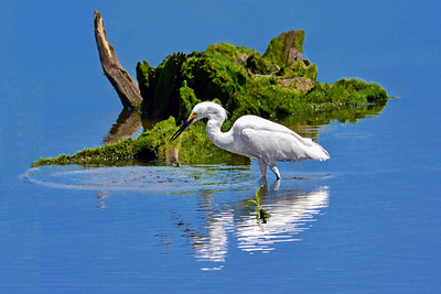 Afternoon Snackin - Snowy Egret