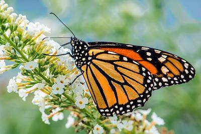 Monarch Butterfly on White Butterfly Bush Flower