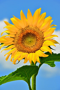 Yellow Sunflower  Reaching for the Sky
