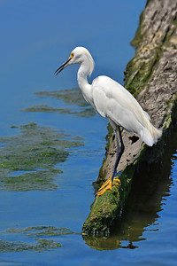 Hungry Snowy Egret