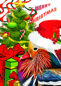 Mandarin Duck Holiday Greeting
