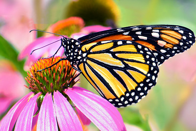 Monarch Butterfly in Pollinator Garden